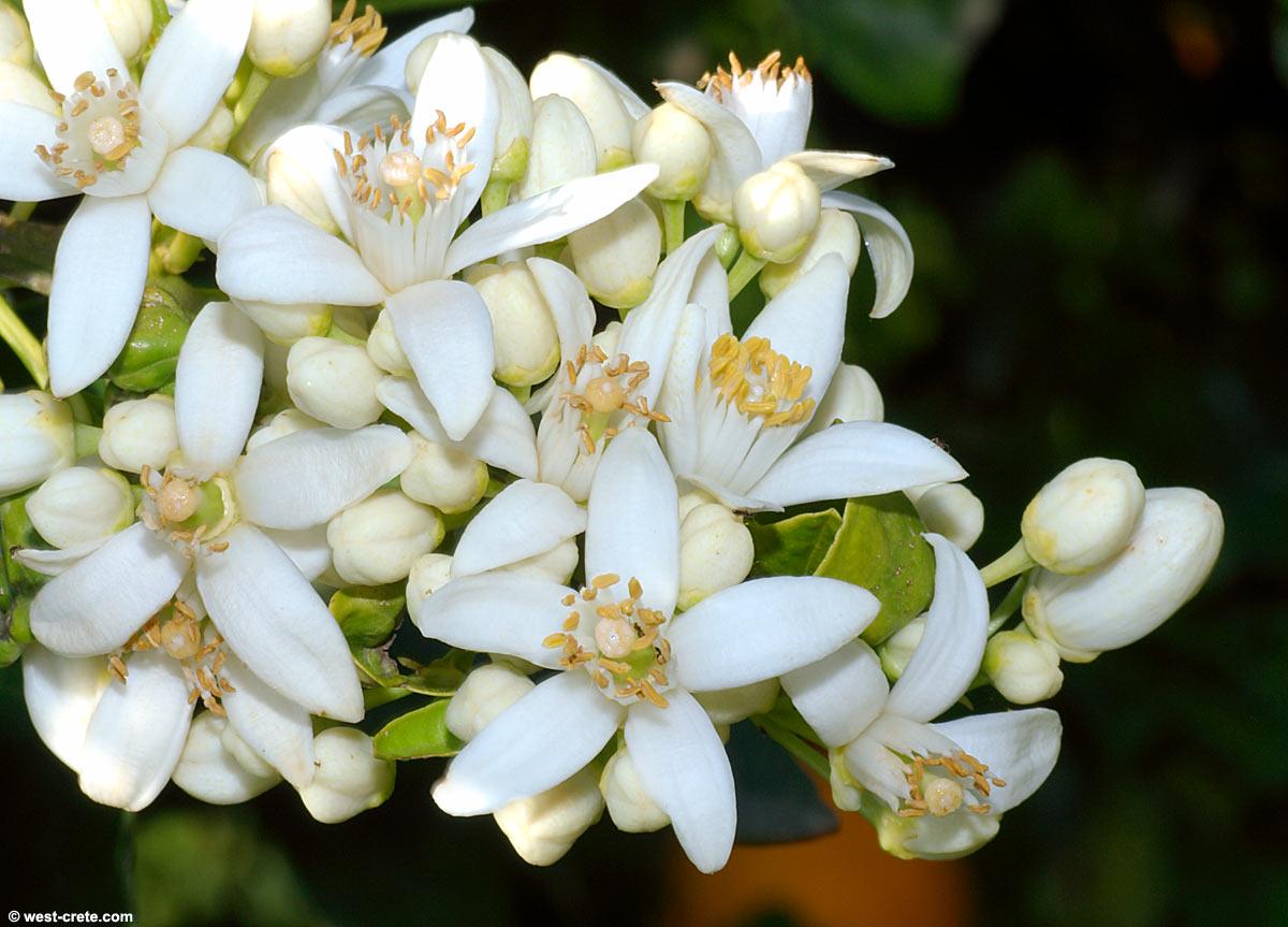 Citrus sinensis sweet orange flowering orange tree click to enlarge mightylinksfo