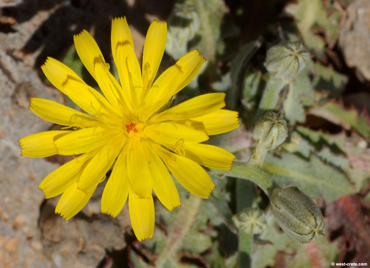 Crepis sibthorpiana - Crepis