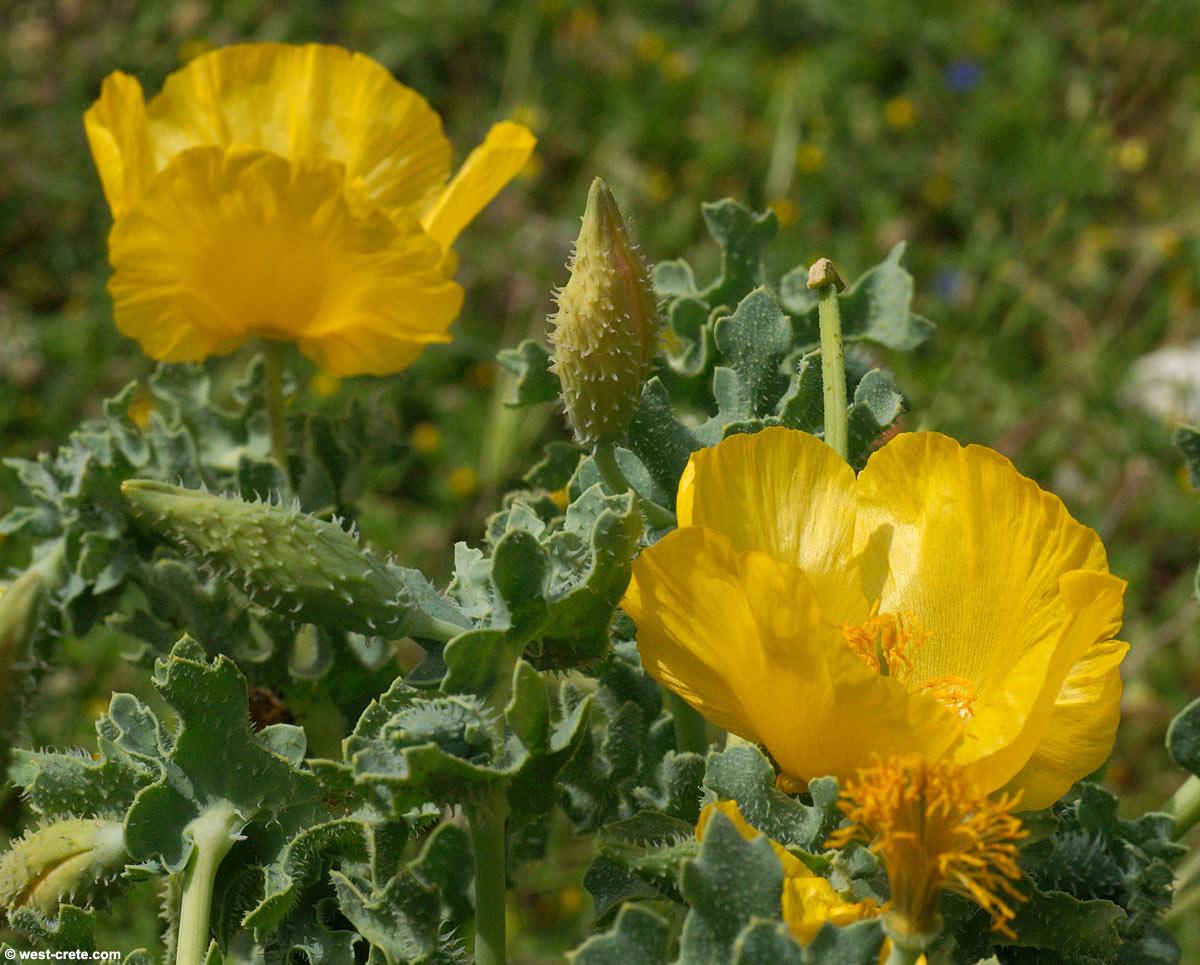 Glaucium Flavum Yellow Horned Poppy