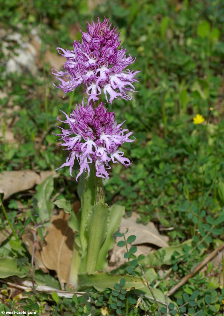 Orchis italica - Italian orchid