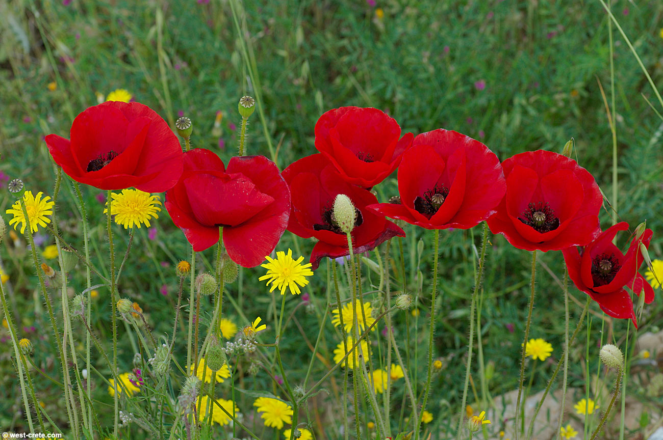 Papaver Rhoeas Common Poppy