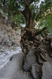 Roots of a plane tree that have been exposed by flood water in the winter.
