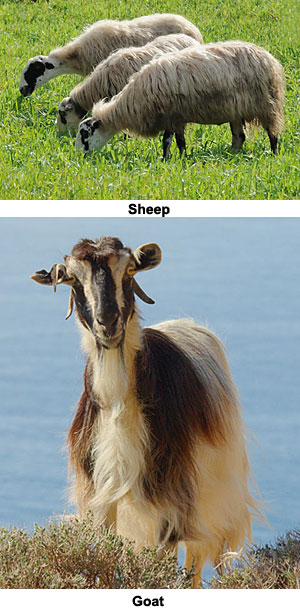 Compare sheep and goats