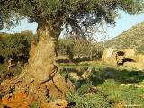 Olive tree near Agia Triada