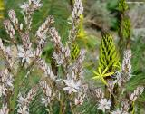Asphodeline lutea and White asphodels