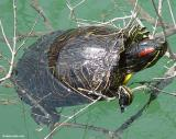 Striped-necked terrapin