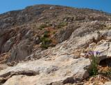 Campanula aizoides below the summit of Agio Pnevma