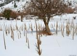 Old Verbascum macrorum stalks in the snow