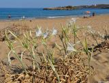 Sea daffodils on Kalathas beach (Akrotiri)