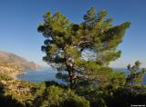 Pine tree above Sougia