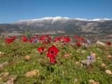 A field of anemones on the way to the chapel of Agia Ekaterini in Anopolis. It is late spring and only a few patches of snow are left on the South facing slopes of the White Mountains
