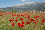 A field of anemones on the way to the chapel of Agia Ekaterini in Anopolis. It is early spring with snow stil covering the South facing slopes of the White Mountains above 2000m