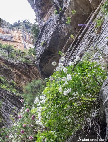 Endemic chasmophyte plants in a cliff in Samaria
